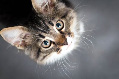 Canvastavlor lite fluffig kattunge på en grå bakgrund
