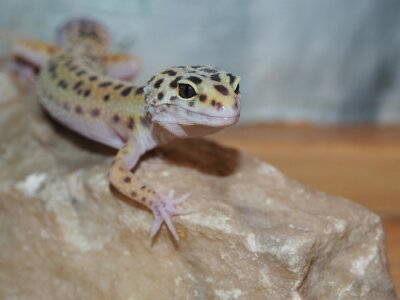 Canvastavlor Liten leopard gecko på en sten. närbild