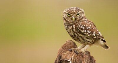 Canvastavlor Little Owl på ett gammalt inlägg tittar på kameran