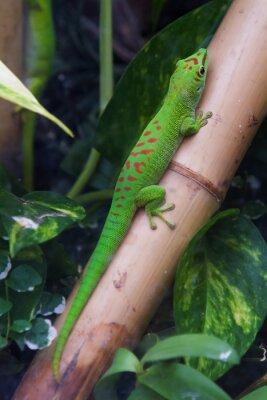 Canvastavlor Madagaskar jätte dag gecko