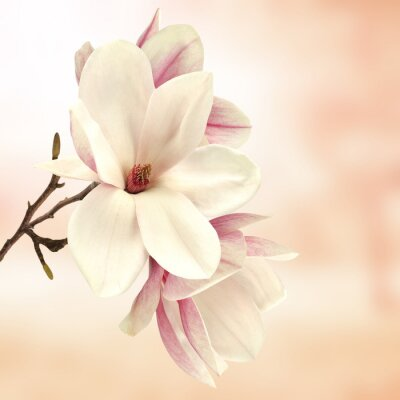 Canvastavlor magnolia
