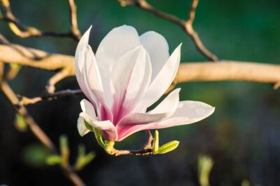 Canvastavlor magnolia blomma i solljus