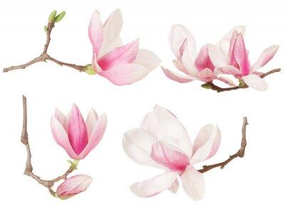 Canvastavlor Magnolia blomma kvist vårkollektion på vitt, klippning