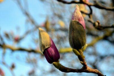 Canvastavlor magnolia knoppar