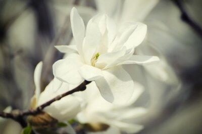 Canvastavlor Magnolia vita blommor