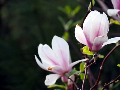 Canvastavlor Magnolia x soulangeana 'Alexandrina'