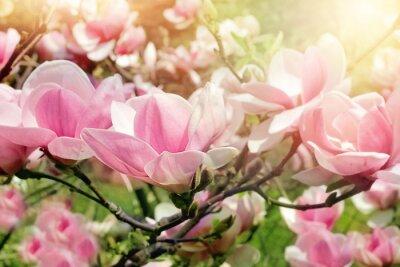 Canvastavlor magnoliaträd blommar