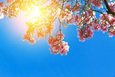 Canvastavlor Magnolienblüten in der Sonne