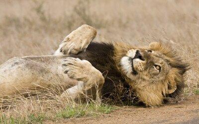 Canvastavlor male lejon liggande i skogen, Kruger, Sydafrika