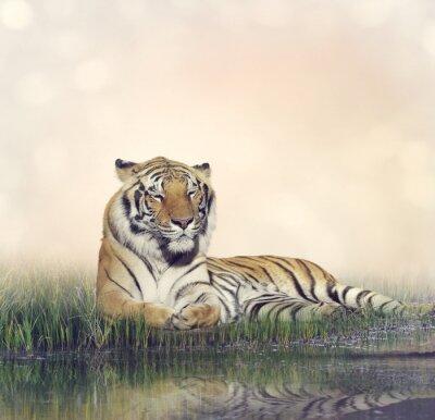 Canvastavlor Man Tiger Resting