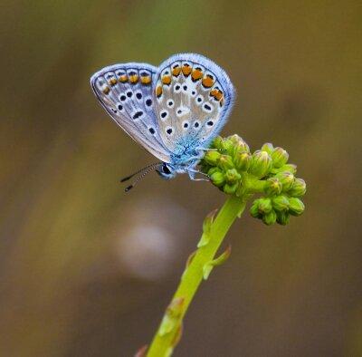 Canvastavlor mariposa azul en la flor