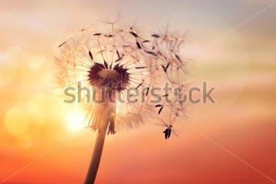 Canvastavlor Maskros silhuett mot solnedgången med frön blåser i vinden