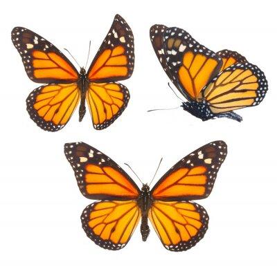 Canvastavlor Monarkfjäril