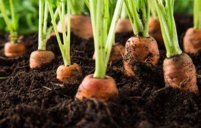 Canvastavlor morötter i trädgården