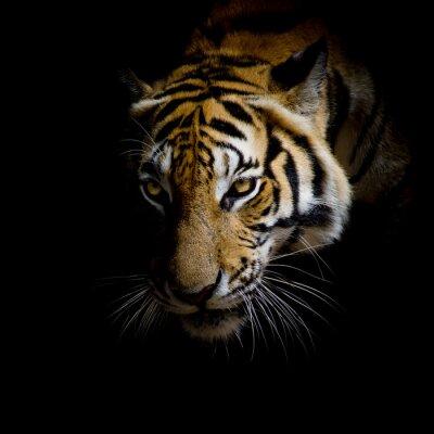 Canvastavlor närbild ansikte tiger isolerade på svart bakgrund
