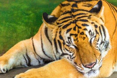 Canvastavlor Närbild av en stor tiger sover i utomhus, Thailand, Asien.