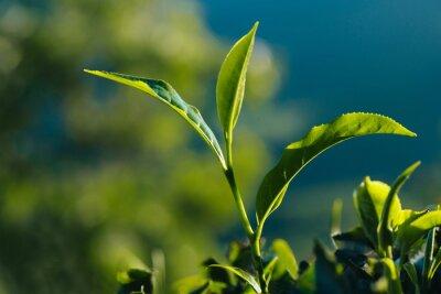 Canvastavlor Närbild av grön färsk teblad på plantagen.