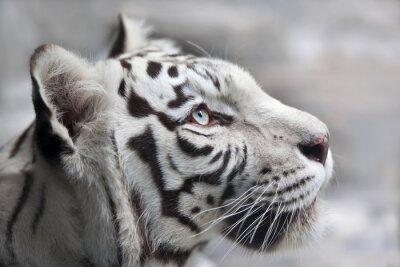 Canvastavlor Närbild porträtt av en vit bengal tiger. Den vackraste djur och mycket farlig fä av världen. Denna allvarliga Raptor är en pärla av vilda djur. Djur ansikte porträtt.