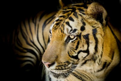 Canvastavlor Närbild tiger