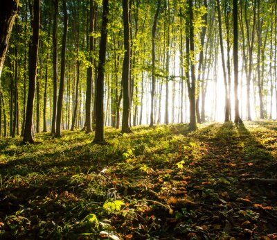 Canvastavlor natur. solnedgång i skogen