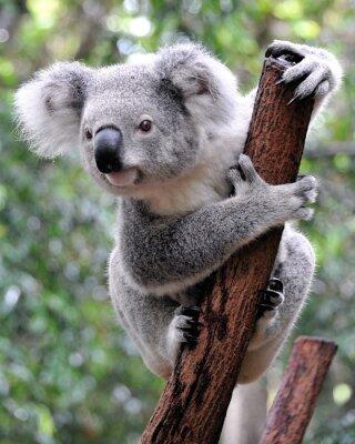 Canvastavlor nyfiken koala