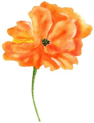 Canvastavlor Orange vallmo. Akvarellmålning, isolerad på vit bakgrund