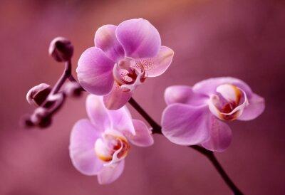 Canvastavlor Orchidea - Storczyki Fiolet