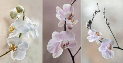Canvastavlor Orchidea (storczyki) - pastelowe