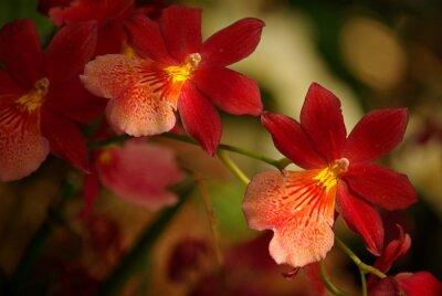 Canvastavlor Orchidées à fleurs rouge et jaune
