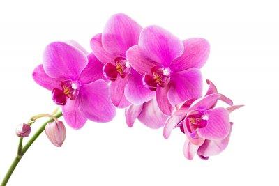 Canvastavlor Orkide