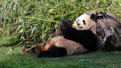 Canvastavlor Oso panda tumbado comiendo BAMBÚ