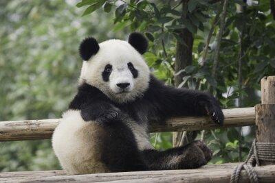 Canvastavlor panda