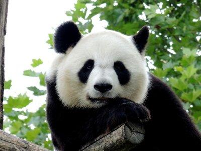 Canvastavlor Panda Géant 7