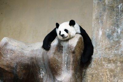 Canvastavlor panda vila