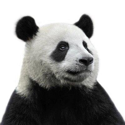 Canvastavlor Pandabjörn isolerad på vit bakgrund