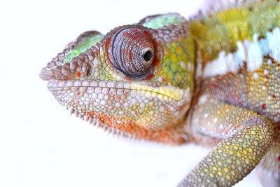 Canvastavlor Panther Chameleon