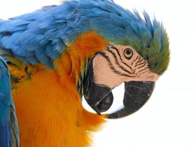 Canvastavlor papegoja fågel djur huvud