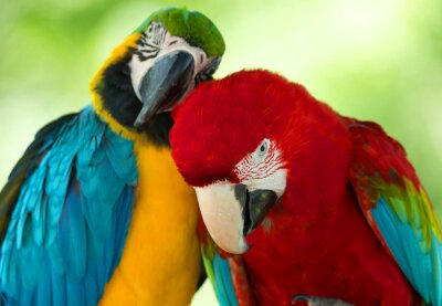 Canvastavlor papegojor