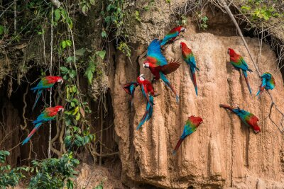 Canvastavlor papegojor i lera lick i peruanska Amazonas djungel på Madre de Di