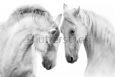 Canvastavlor Par vackra vita hästar isolerade på vit bakgrund. Hög nyckelbild
