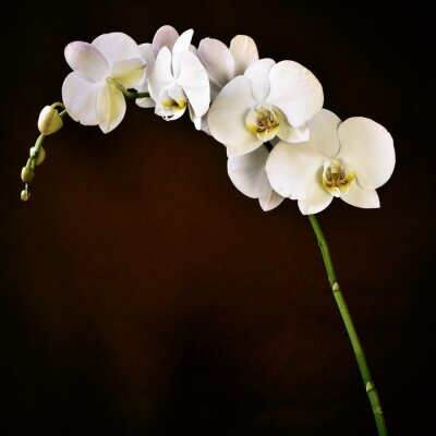 Canvastavlor Phalaenopsis aphrodite orkidé