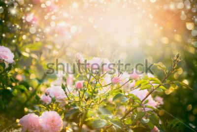 Canvastavlor Pink pale roses bush over summer garden or park nature background. Roses garden, outdoor with sunshine and bokeh