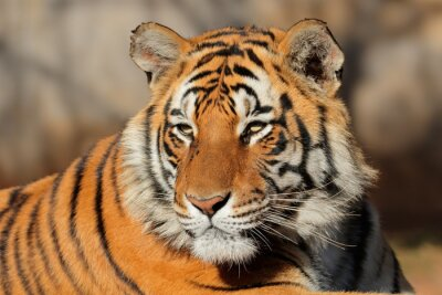 Canvastavlor Porträtt av en Bengal tiger (Pantheratigris bengalensis).