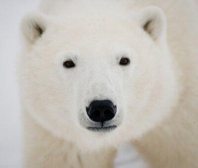Canvastavlor Porträtt av en isbjörn. Närbild. Kanada. En utmärkt illustration.