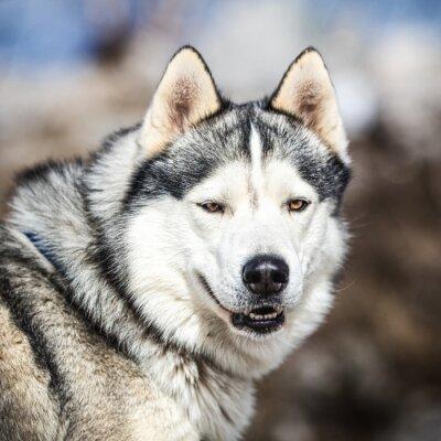 Canvastavlor Porträtt av en slädhund, Husky hund