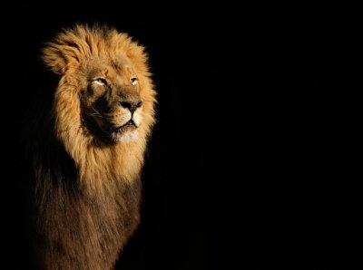 Canvastavlor Porträtt av en stor manlig afrikanska lejon (Panthera leo) mot en svart bakgrund, Sydafrika.