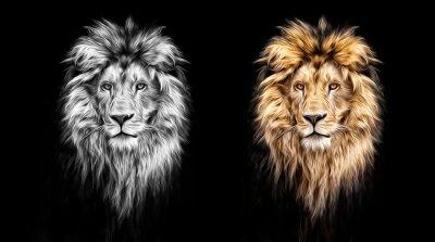 Canvastavlor Porträtt av en vacker lejon, lejon i de mörka, oljefärger