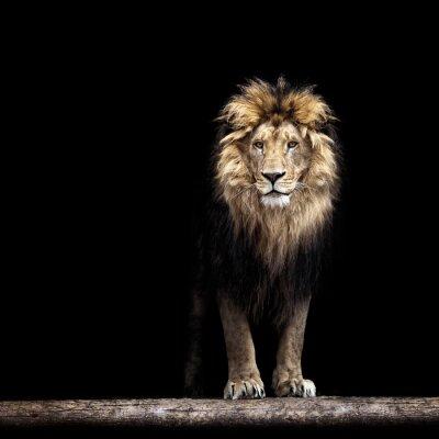 Canvastavlor Porträtt av en vacker lejon, lejon i mörkret