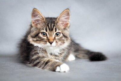 Canvastavlor porträtt av liggande katt