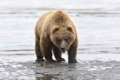 Canvastavlor Porträtt av vilda fri roaming brunbjörn